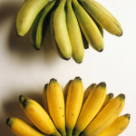 Organic versus conventional bananas: which should you buy?